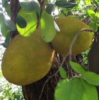 ขนุน (jack fruit)